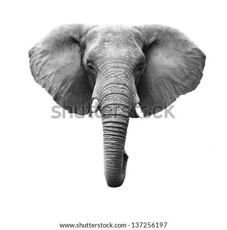 Elephant Head Isolated on White - stock photo