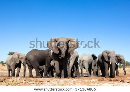 Elephant Herd #371384806