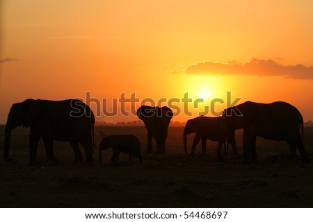 Elephant herd at sunset in African national park