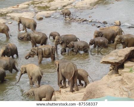Elephant herd bathing in the river in Sri Lanka