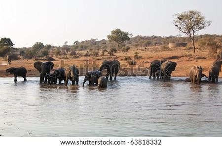 Elephant herd drink at waterhole in Africa