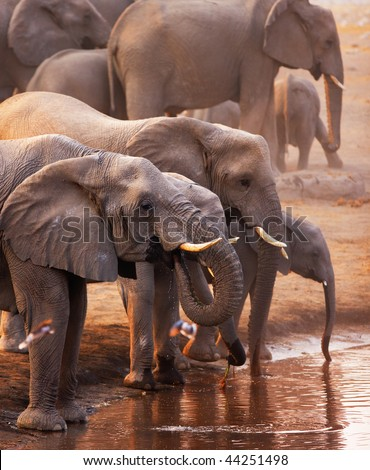 Elephant herd drinking at a waterhole and doves flying in foreground; Etosha