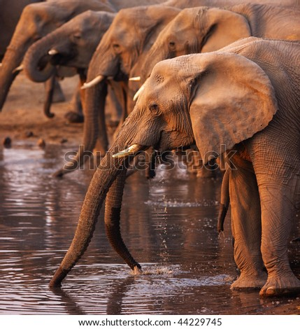 Elephant herd drinking at a waterhole in Etosha