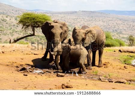 Elephant Herd drinking water in Kenya stock photo