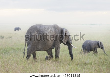 Elephant herd grazing in savanna at  foggy morning - stock photo