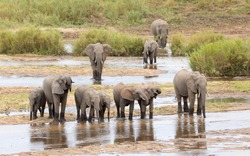 Elephant herd made up of female elephants and juvenile elephants standing at the edge of water drinking in Kruger Park South Africa
