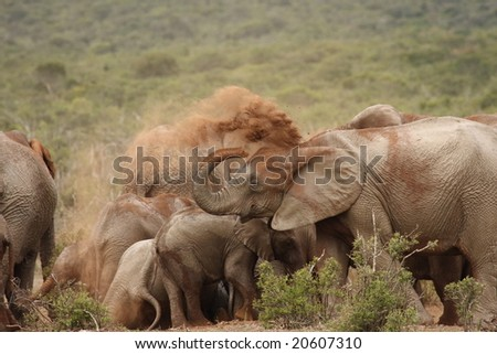 Elephant herd sharing a big dust bath.