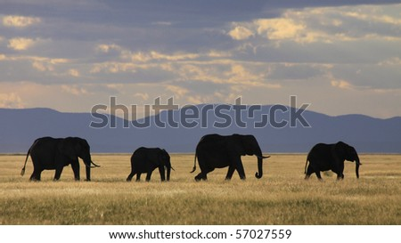 Elephant herd silhouetted against golden grassland