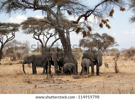 Elephant herd under an african acacia tree full of bird nests