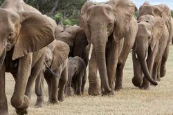 Elephant herd walking in a Game Reserve in the Tuli Block in Botswana
