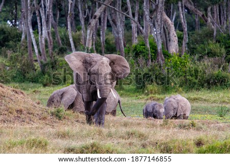 Elephant herd walking in a small swamp area in the forest on the borders of the Mara river in the Masai Mara National Park in Kenya stock photo