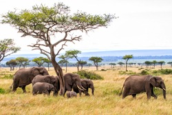 Elephant herd walking on the plains of the Masai Mara National Park in Kenya