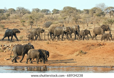 Elephant herd walking past a water hole in Kruger park