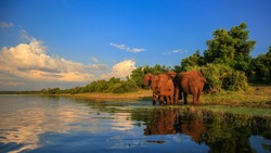 Elephant herd with baby coming to drink at river, Kruger National Park