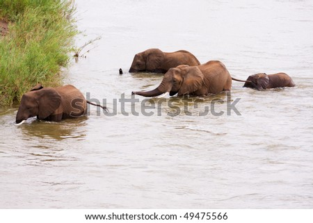 Elephant herd with calf crossing a deep river