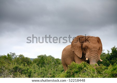 Elephant in Addo Elephant National Park, South Africa