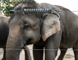 Elephant in captivity behind an electric fence in Chitwan, Nepal