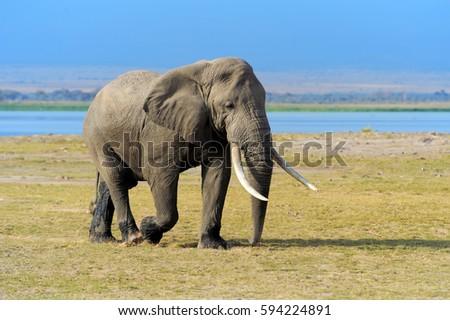 Elephant in National park of Kenya, Africa #594224891