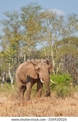 Elephant in North Kruger, South Africa