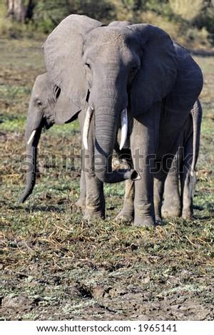 Elephant in South Luangwa