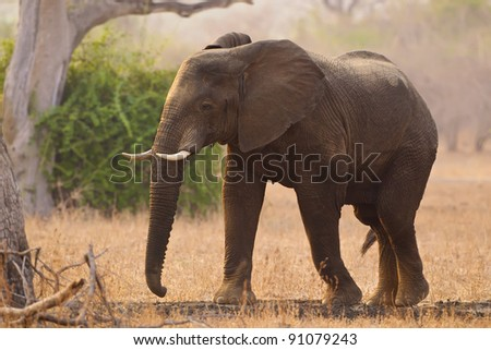 Elephant in the African bush