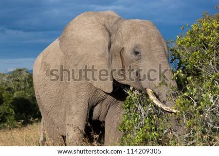 Elephant in the bush in savana (Kenya)