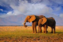 Elephant in the grass, blue sky. Wildlife scene from nature, elephant in habitat, Moremi, Okavango delta, Botswana, Africa. Green wet season, blue sky with clouds.