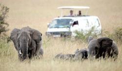 Elephant in the grass in the Masai Mara Reserve (Kenya)