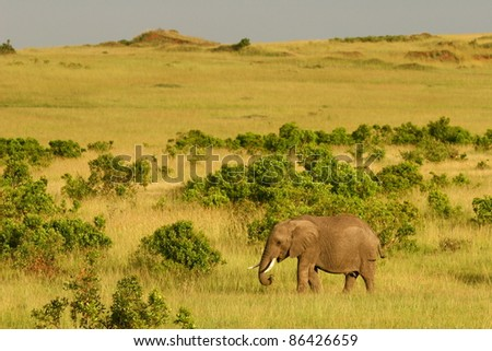 Elephant in the grass, Masai Mara, Kenya
