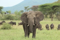 Elephant in the green Serengeti