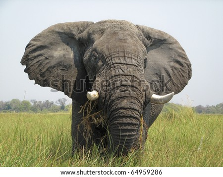 Elephant in the Okavango Delta Botswana Africa