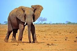 elephant in the savannah of kenya