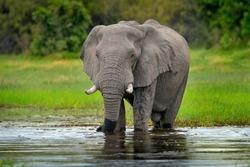 Elephant in the water. Wildlife scene from nature, elephant in the habitat, Moremi, Okavango delta, Botswana, Africa. Green wet season, blue sky with clouds. African safari.