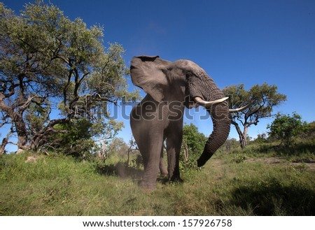 Elephant in the wild.