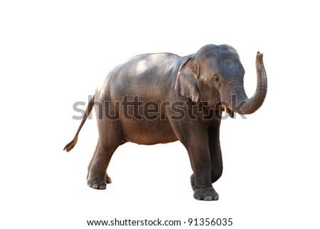 elephant  - isolated