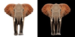 Elephant isolated on white and black color background