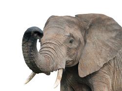 elephant, isolated on white background