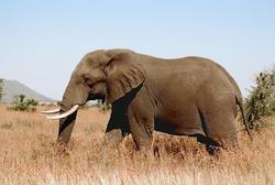 Elephant Kruger park South Africa