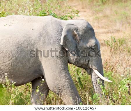 Elephant, Kuiburi national park, Thailand
