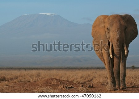 Elephant leading her family from Mount Kilimanjaro, Kenya
