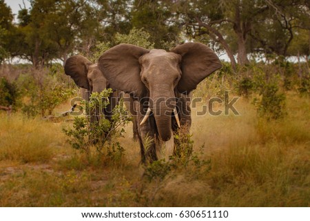 Elephant (Loxodonta africana)\n