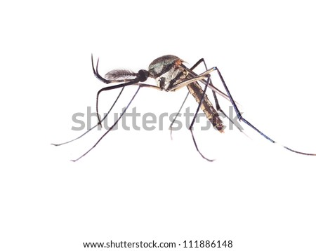 Elephant mosquito, isolated on white