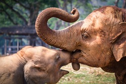 elephant mother and baby touching each other,Elephant Love,Tender moment between elephant mother and calf,asian elephants in nature park