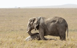 Elephant mourning standing over a dead baby in Serengeti National Park Tanzania