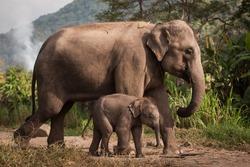 Elephant mum and baby elephant walk in the jungle of Thailand. Sweet elephant family