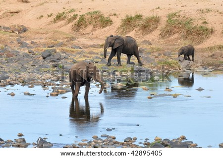 elephant near river Olifant,Kruger national park