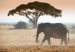 Elephant on african savannah in the misty morning light