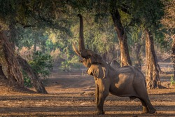 Elephant reaching high to browse lower tree branches - Mana Pools Zimbabwe