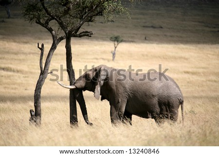 Elephant rubs a tree in the Masai Mara Reserve (Kenya)