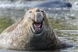 Elephant sea lion laughs. South Georgia, South Atlantic Ocean.